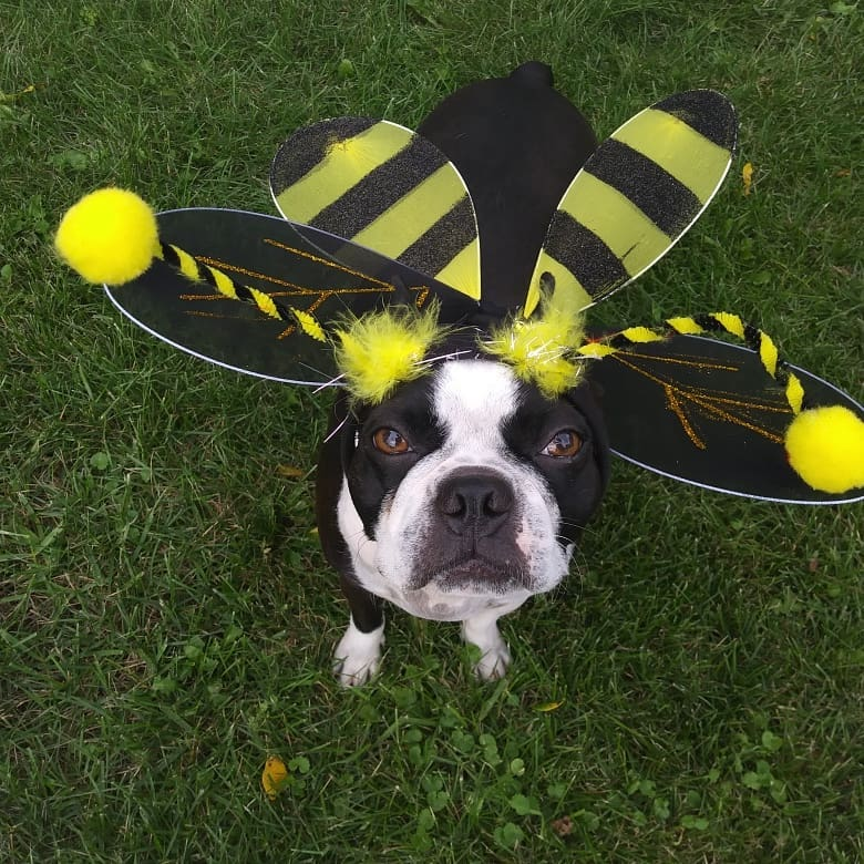 Bee costume for dog.