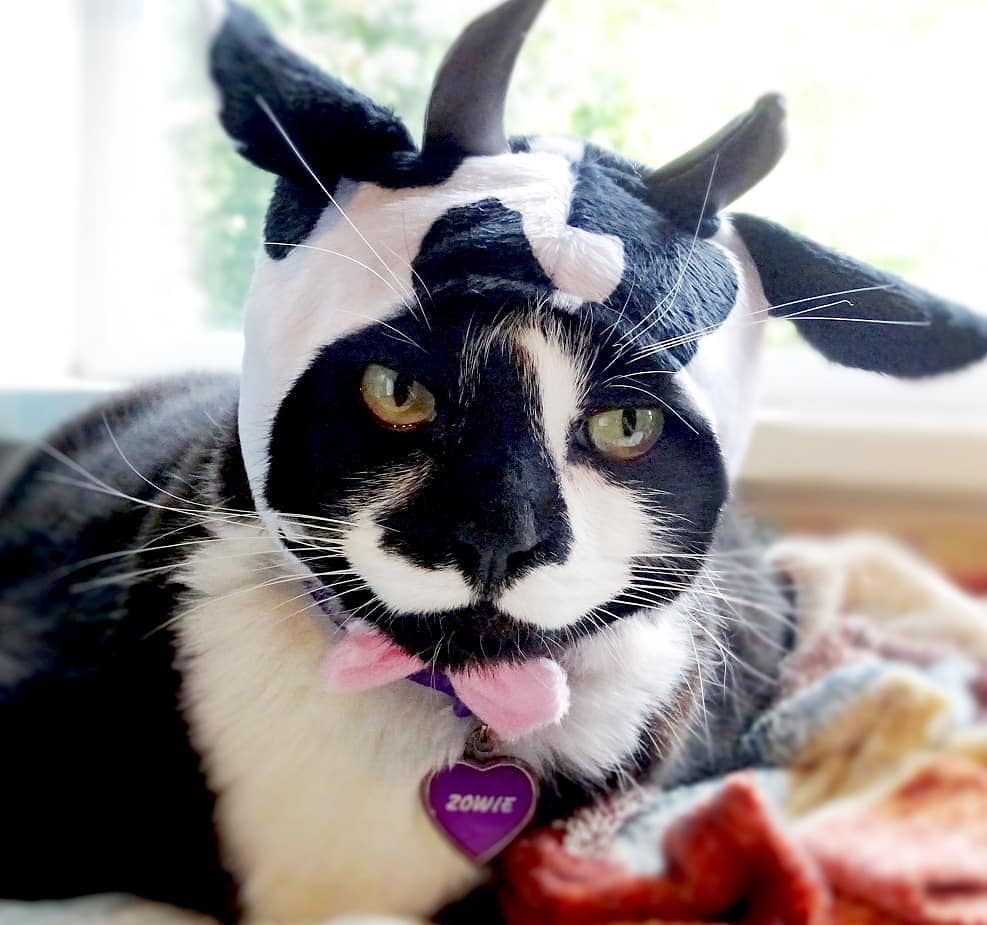 Black and white cow costume for cat.