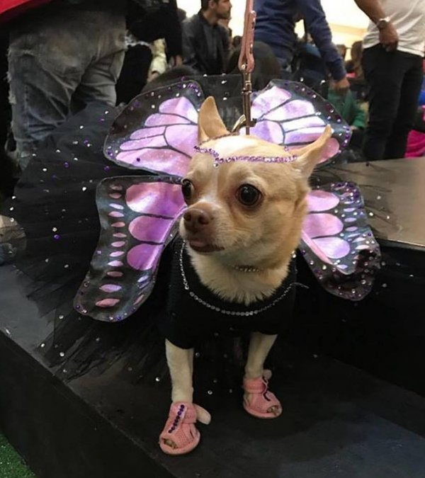 Charismatic butterfly costume for puppy.