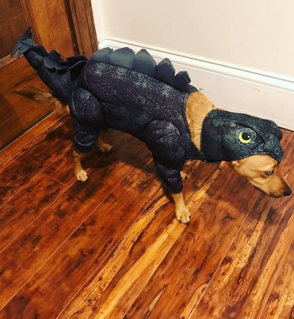 Dinosaur outfit for dog.