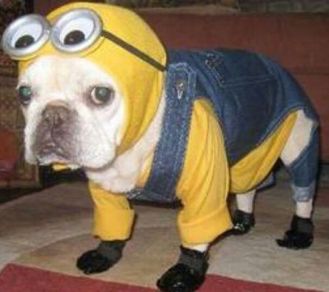 Minion Halloween costume for puppy.