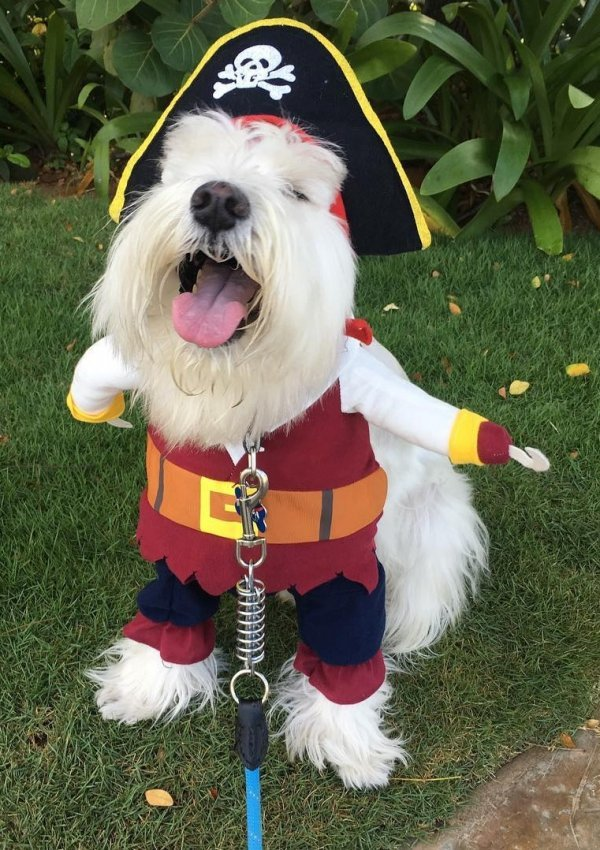Pirate outfit for dog.