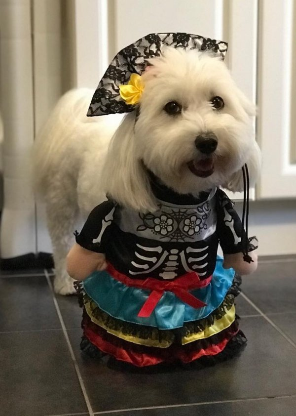 Pretty dog outfit for Halloween.