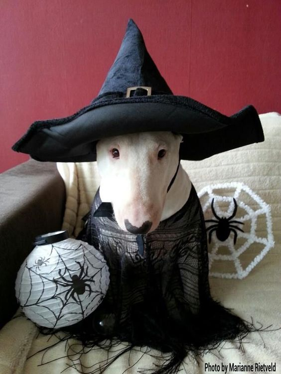 Witch cap for dog.