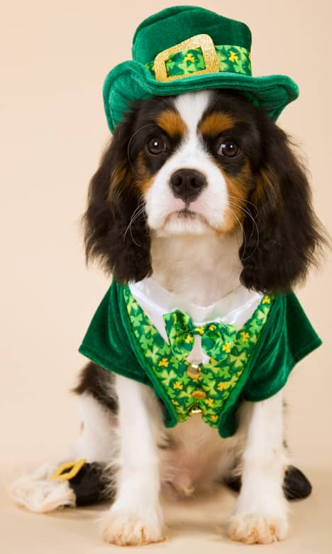 Adorable St. Pattys day puppy costume.