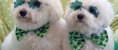 Sweet pets with Irish eyes and bow.